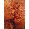 Muschio Islandese Rosso Corallo - 22g